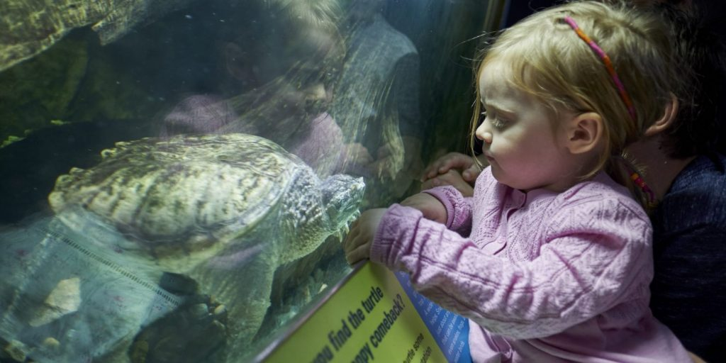 Child looking at snapping turtle