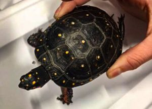 Upclose photo of spotted turtle being held by Animal Care staff