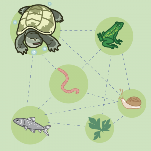 food web for turtles, worms, fish, frogs, snails